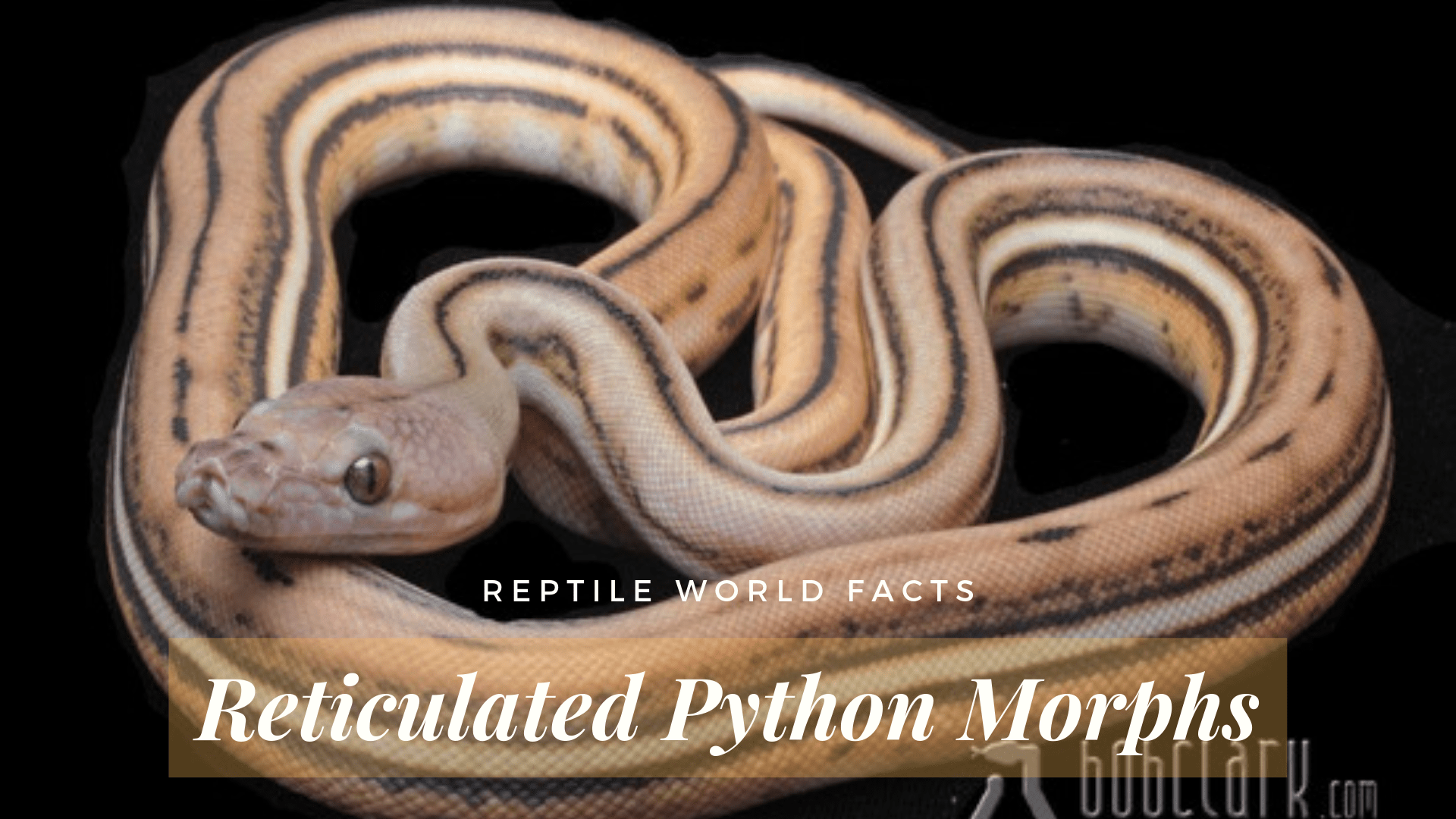 10 Beautiful Reticulated Python Morphs Reptileworldfacts