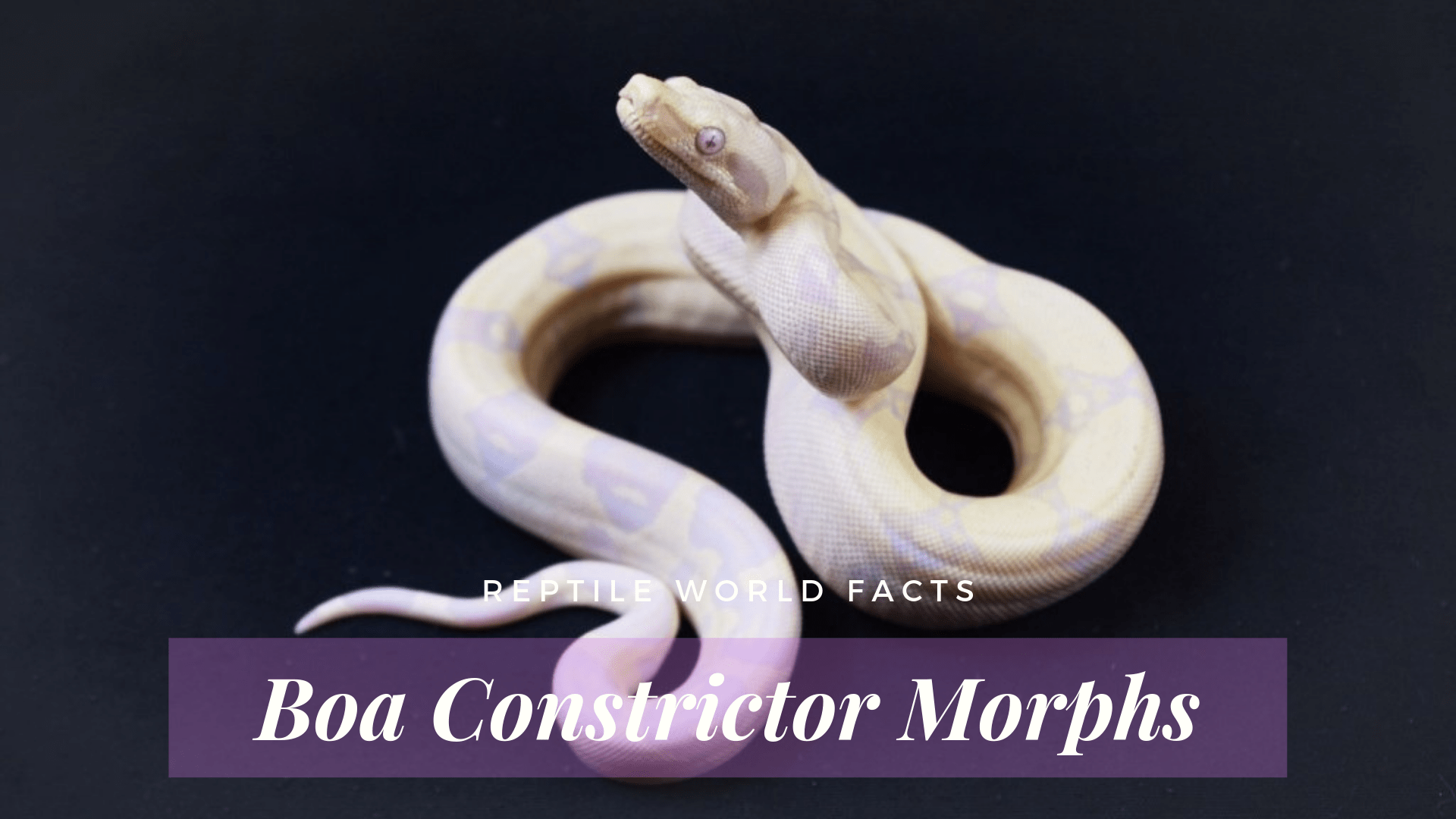 10 Beautiful Boa Constrictor Morphs - ReptileWorldFacts